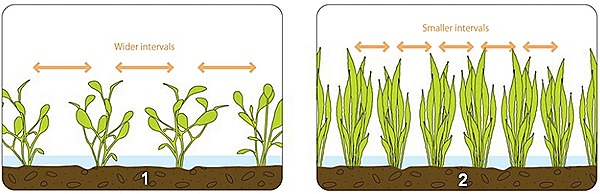 adjust-the-plant-density-according-to-the-growth-rate