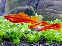 male-and-female-swordtails