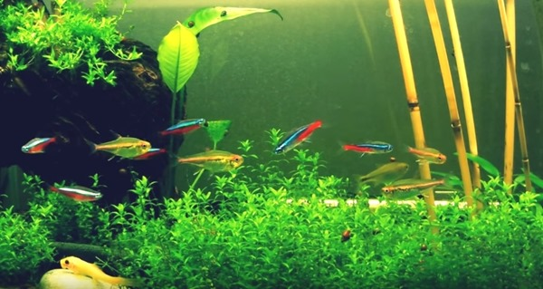 Neon tetra fish tank for Tetra fish tanks
