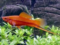 swordtail-fish