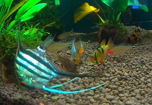 Aquatic freshwater fish images for Good fish for small tanks