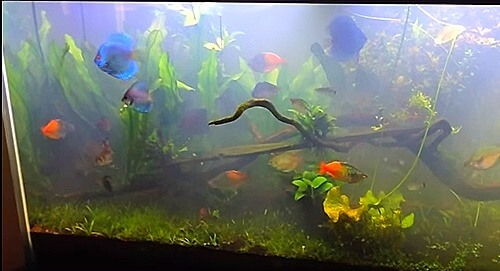 What causes cloudy aquarium water and how to clear for Algae bloom in fish tank