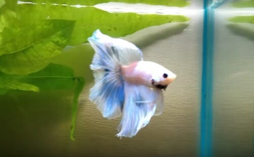 how to do a water change for betta fish