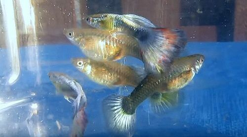 male-and-female-guppies