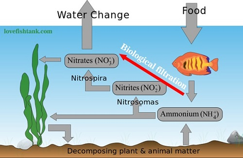 aquarium-nitrogen-cycle