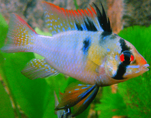 How To Care For And Breed German Blue Ram Cichlid