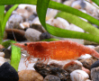 red-cherry-shrimp