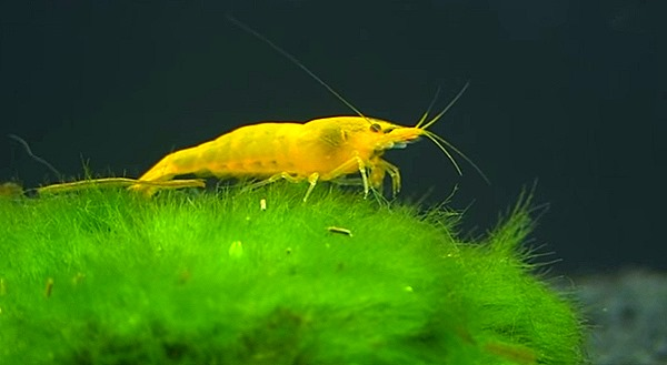 yellow-shrimp-keeping