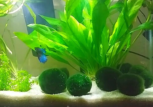 plants and decorations for a Betta fish tank