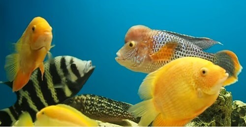 agressive-cichlid-fish-tank-2