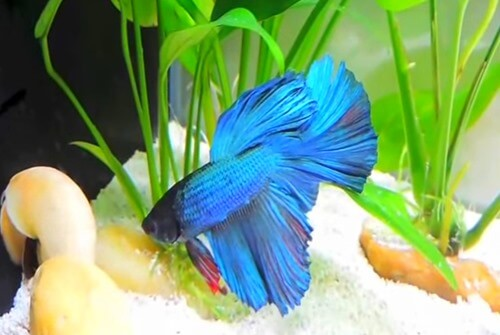 How to care for feed and change water for betta fish for Betta fish care guide