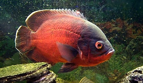 red-oscar-cichlid