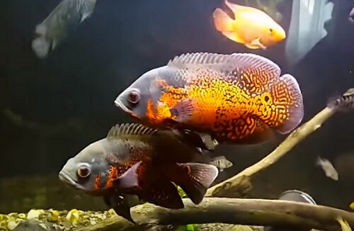 Understand your Oscar fish and give them the best care