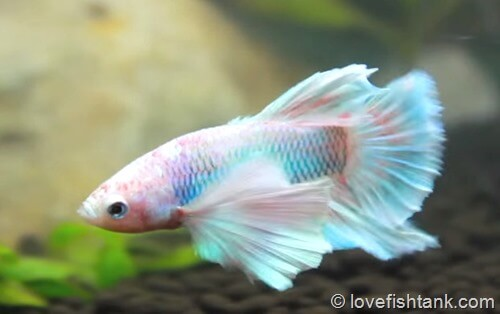 How long do Betta fish live for and how to extend Betta lifespan?