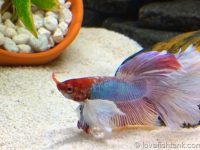 feed-betta-with-live-food