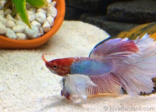 How Long Do Betta Fish Live For And How To Extend Betta Lifespan