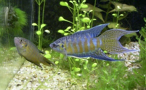 paradise-fish-female-and-male