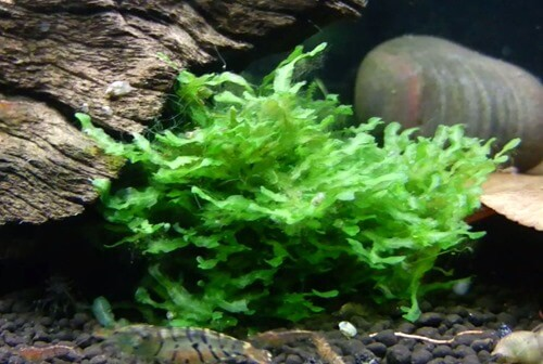 best low light and easy to care aquarium plants for beginners. Black Bedroom Furniture Sets. Home Design Ideas
