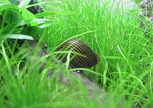 algae-eating-snail