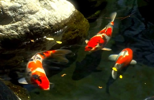 koi-fish-pond