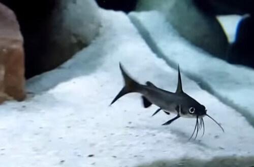columbian-shark