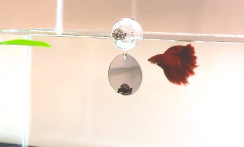 floating-Betta-exercise-mirror