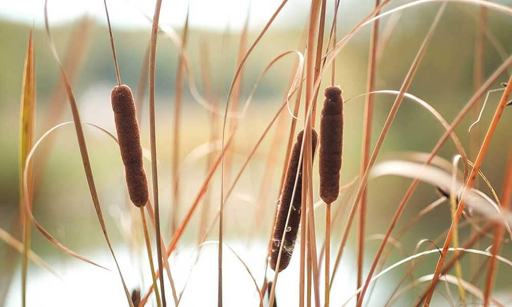 Cattails-in-a-Pond-3
