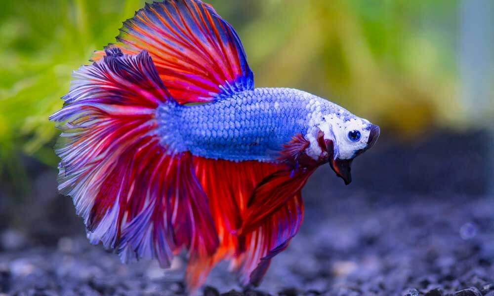 purple and red aquatic pet