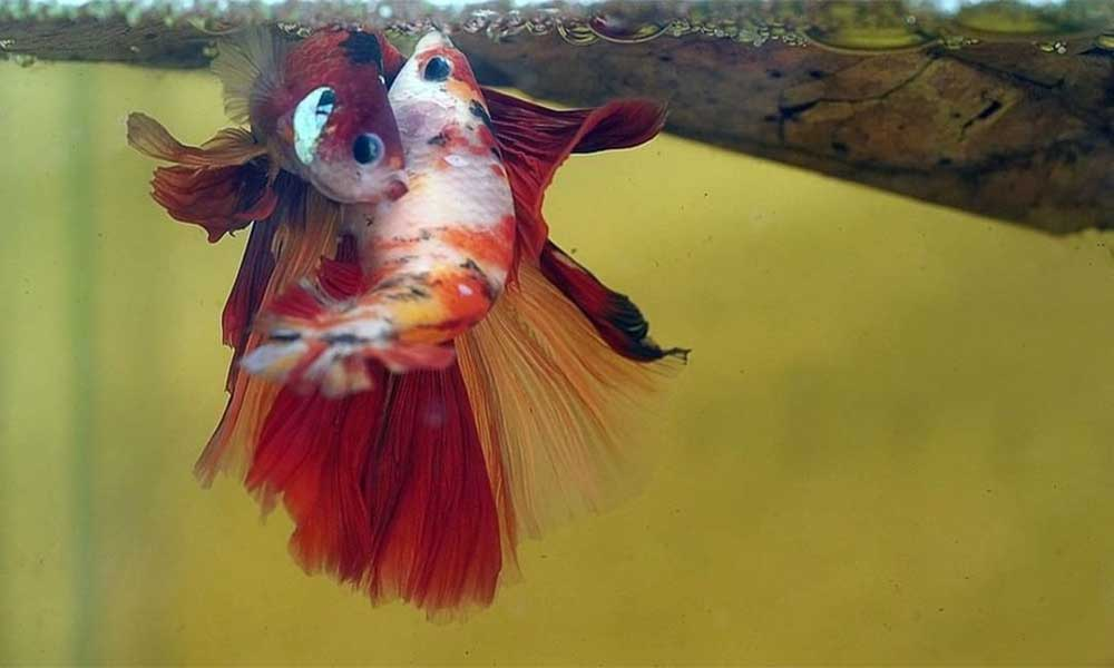 breed-betta-fish