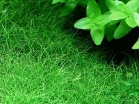 hairgrass carpet plant