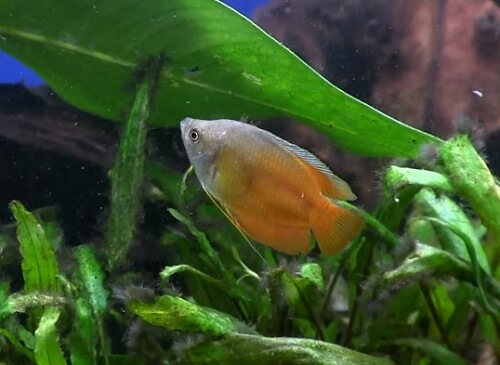 flame-red-dwarf-gourami