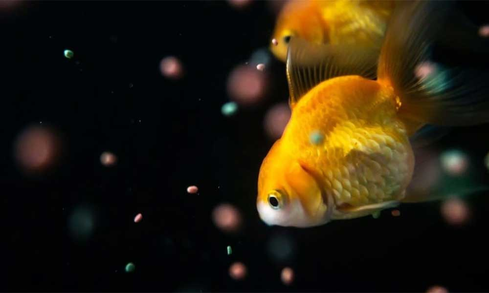 goldfish-feeding-and-tips