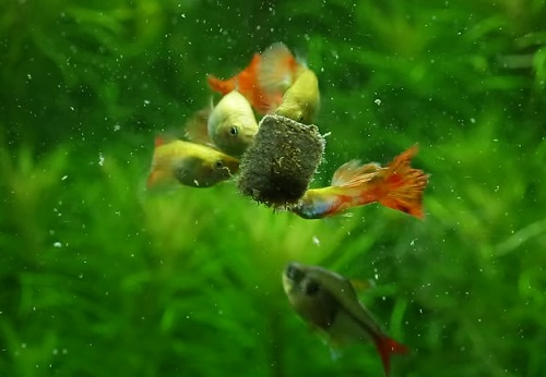 guppy-feeding