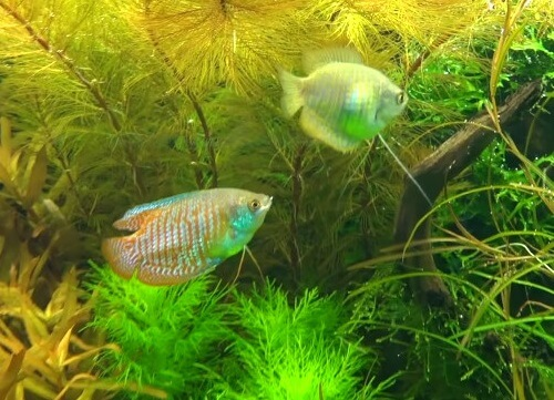 male-female-dwarf-gouramis