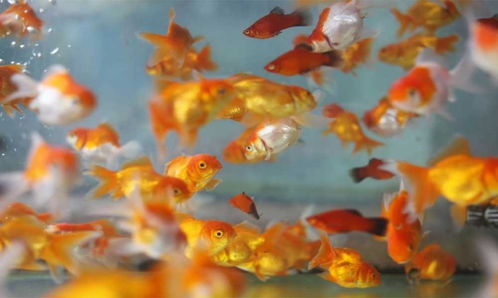 many-goldfish