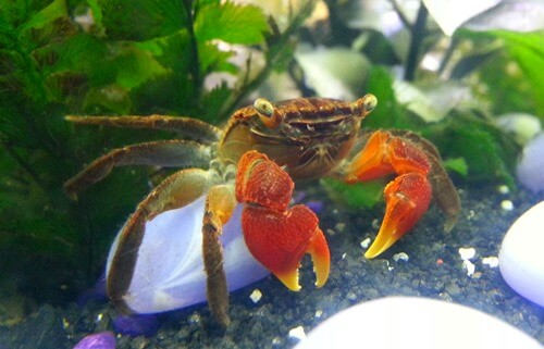 red-claw-crab
